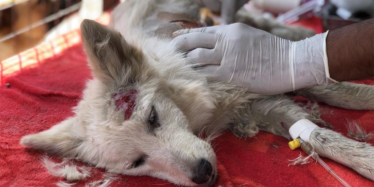 Street Dog Rescue, Care & Rehabilitation
